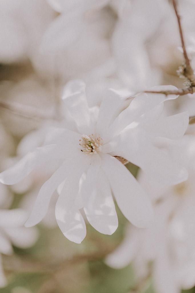 Detailaufnahme einer Magnolienblüte