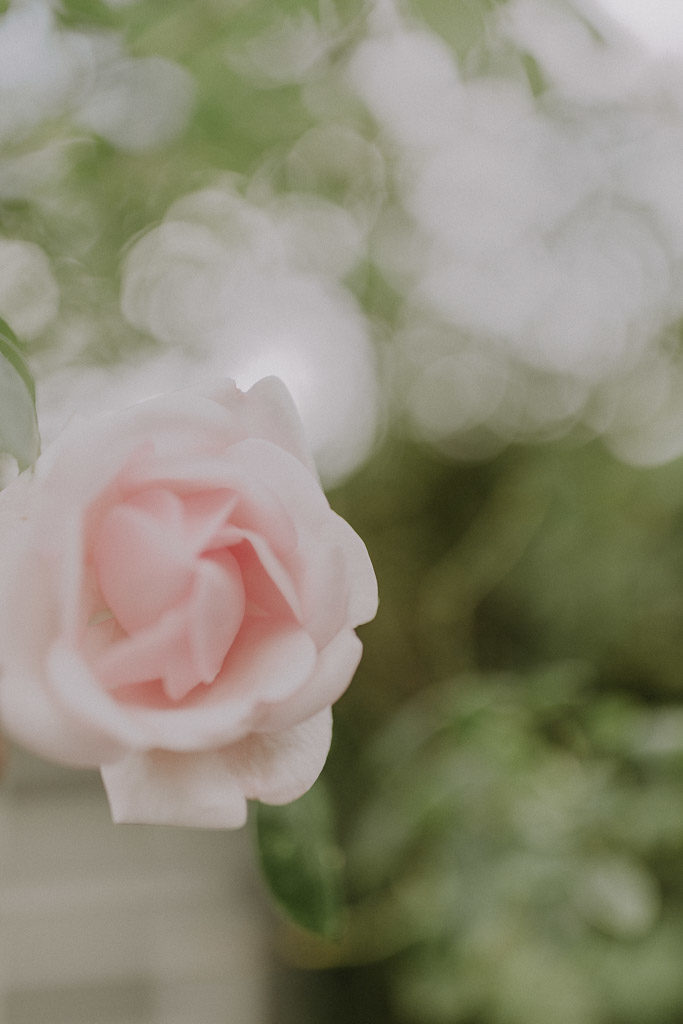 Blühende Rose im Schloss Amerang